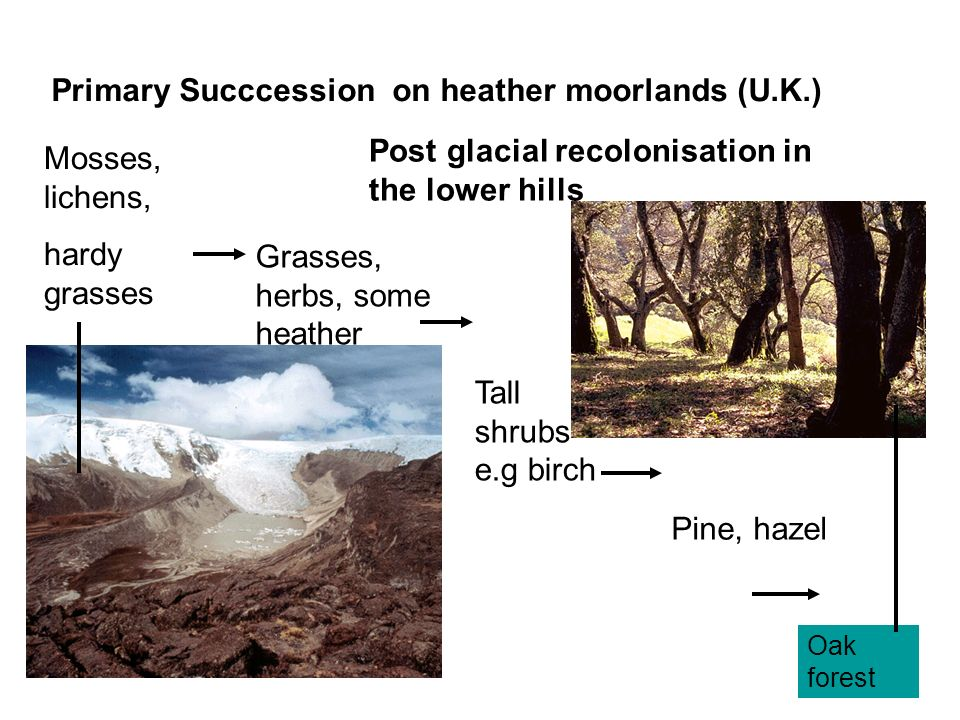 Primary Succcession on heather moorlands (U.K.)