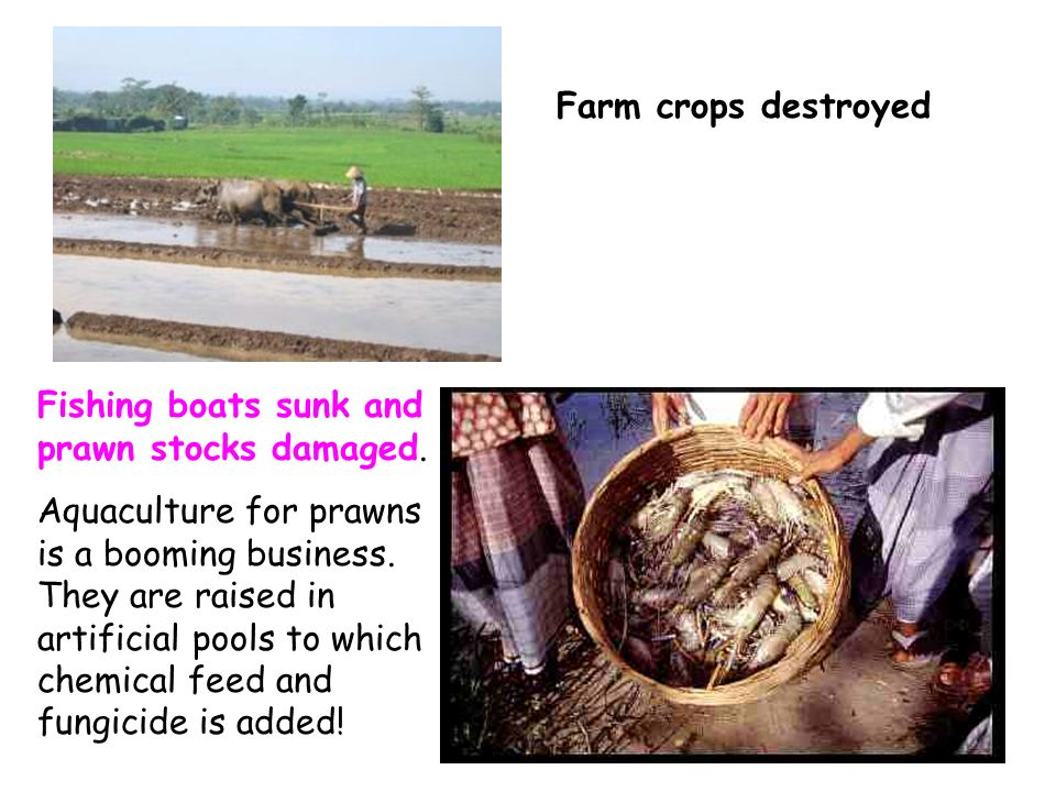 Farm crops destroyed Fishing boats sunk and prawn stocks damaged.