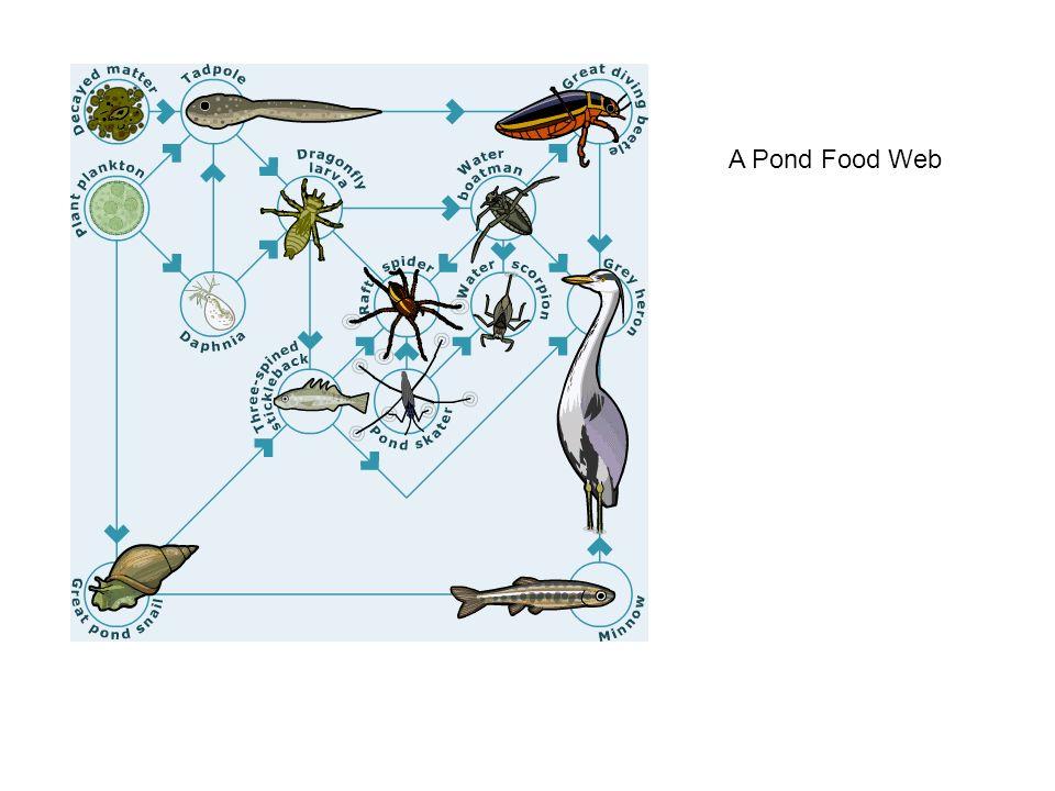 A Pond Food Web