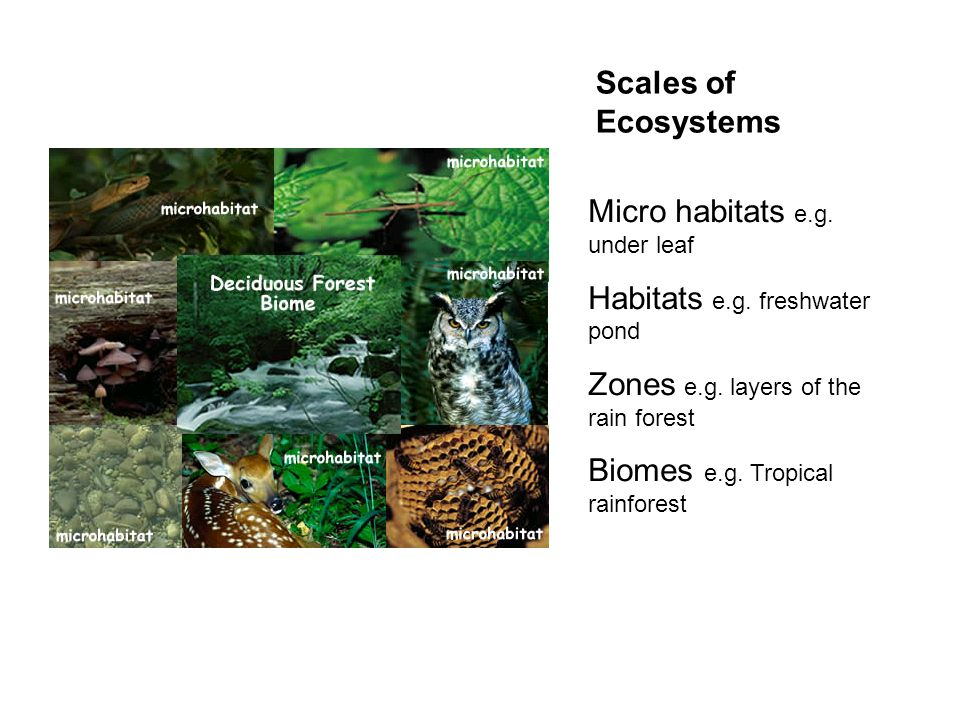 Scales of Ecosystems Micro habitats e.g. under leaf. Habitats e.g. freshwater pond. Zones e.g. layers of the rain forest.
