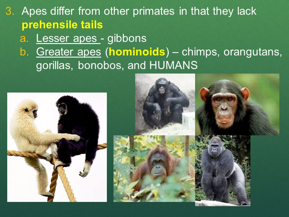Difference Between Primates and Humans