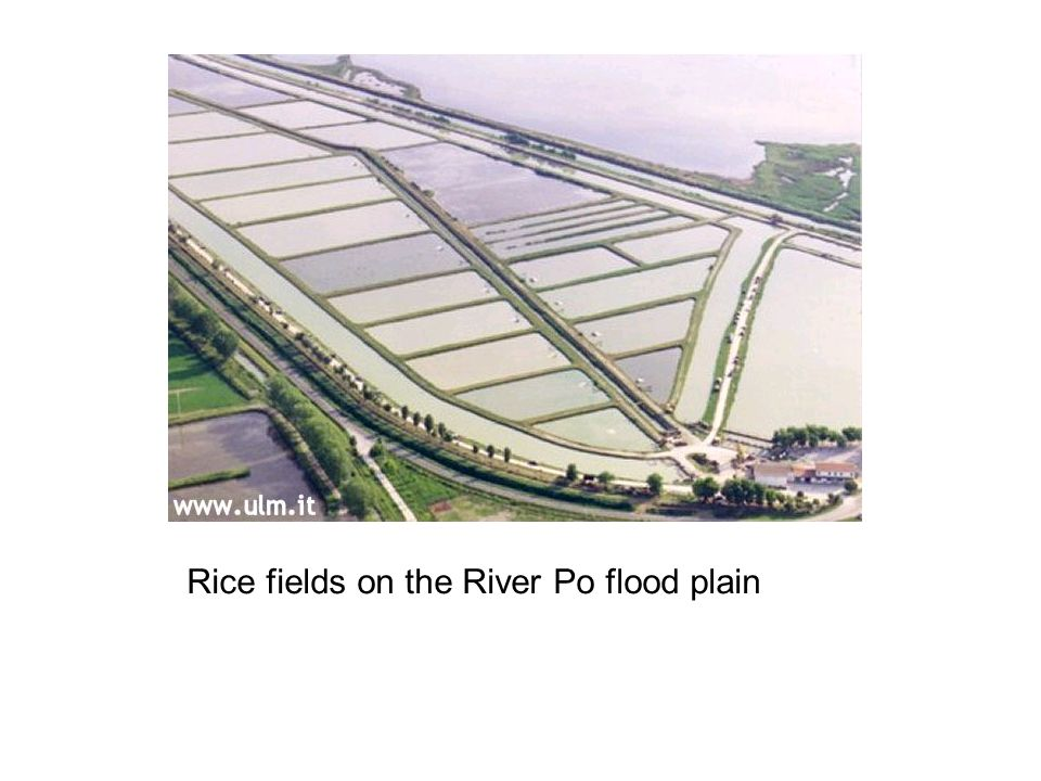 Rice fields on the River Po flood plain