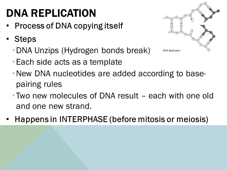 Biology review ppt download 12 dna replication pronofoot35fo Images