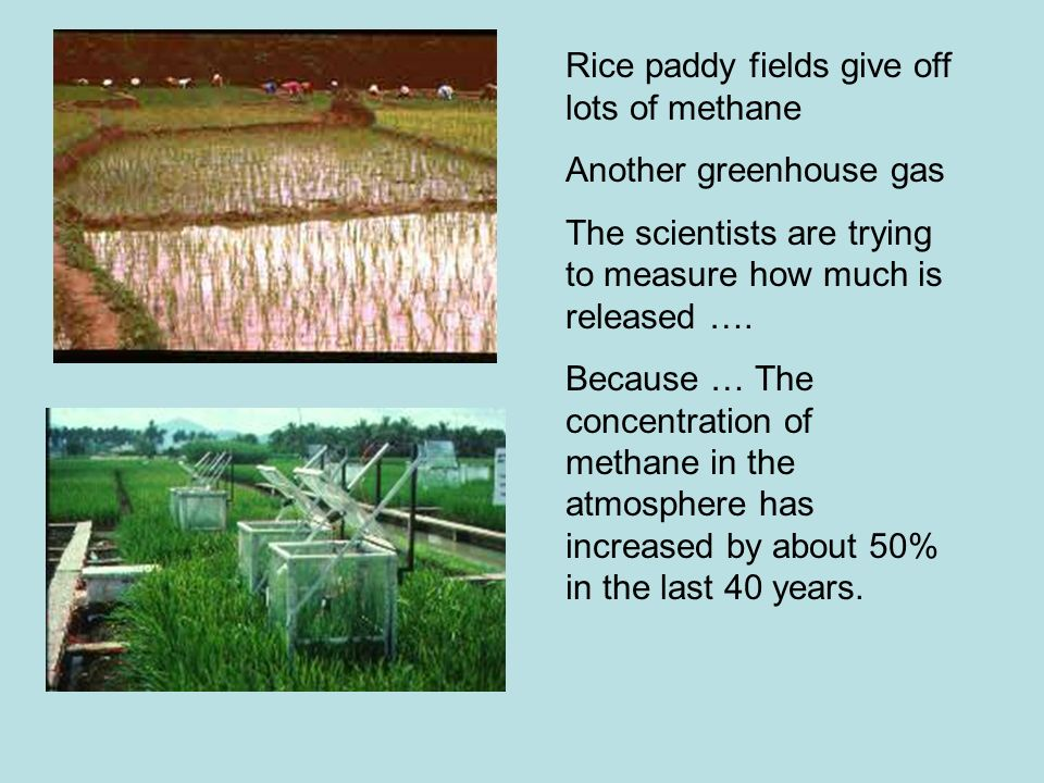 Rice paddy fields give off lots of methane
