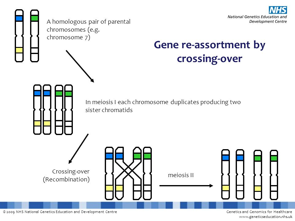Gene re-assortment by crossing-over