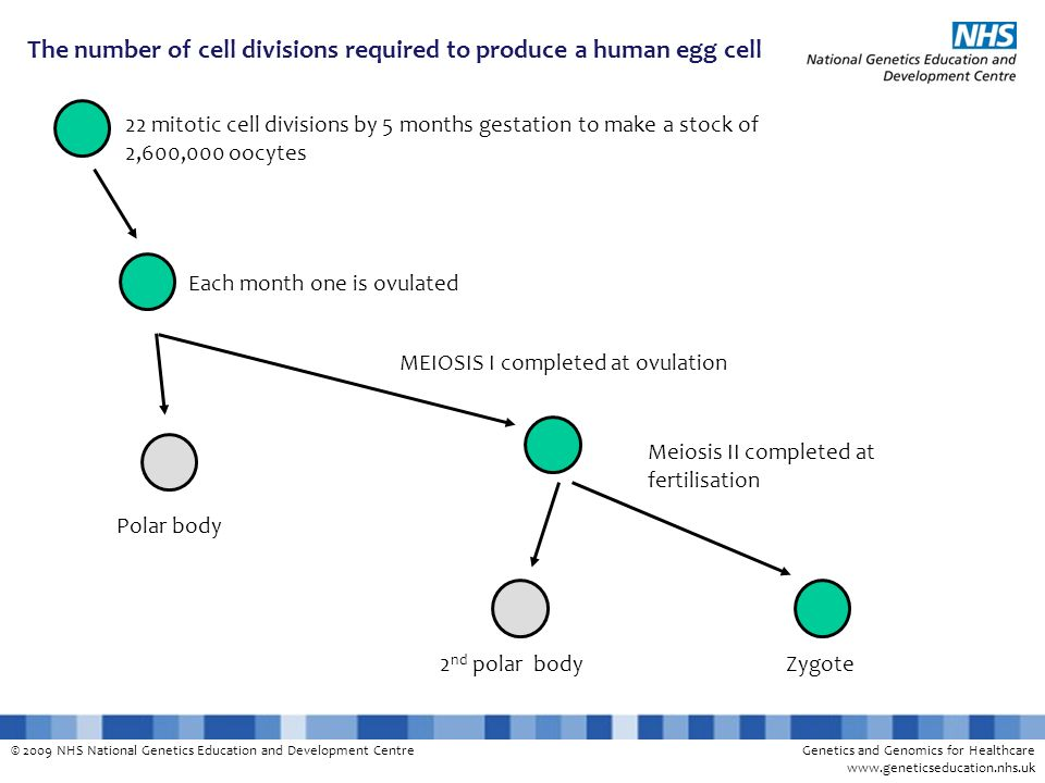 The number of cell divisions required to produce a human egg cell