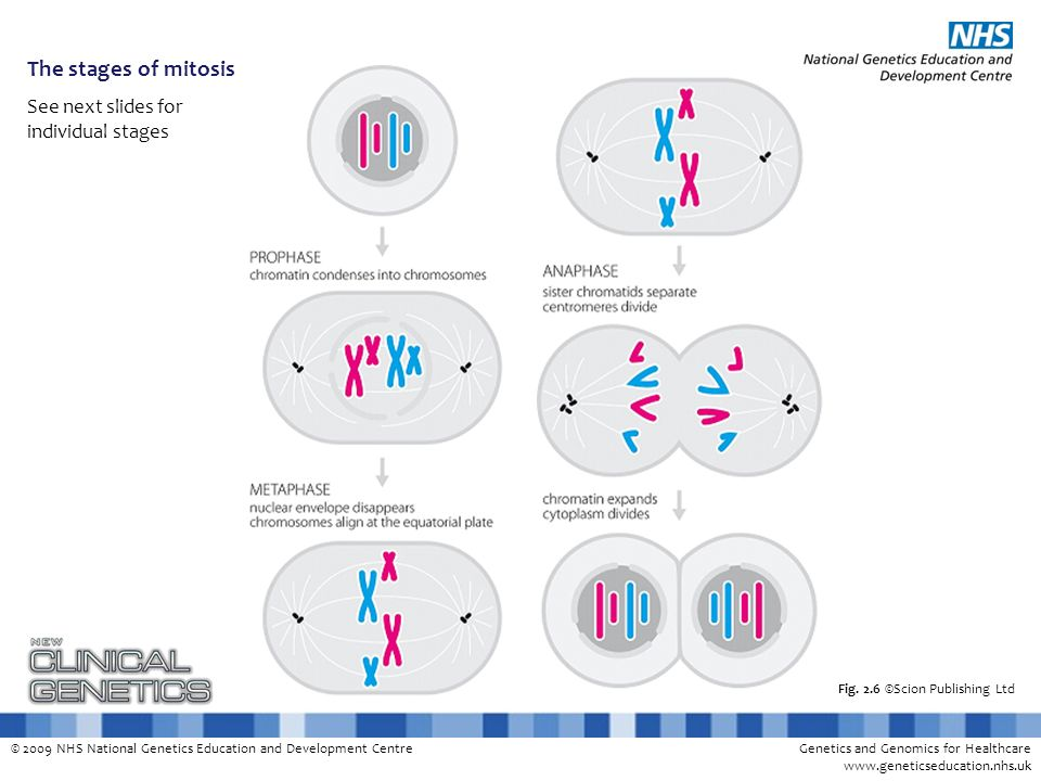 The stages of mitosis See next slides for individual stages