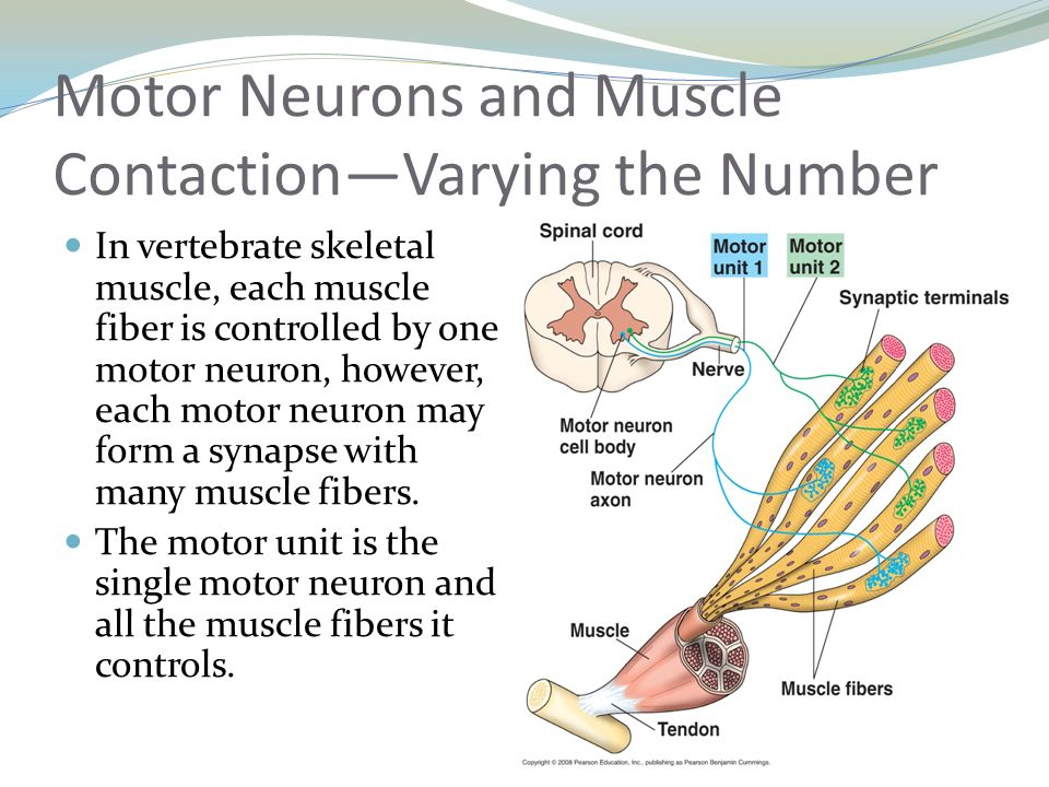 What is a motor neuron and the muscle fibers it controls for What is a motor neuron