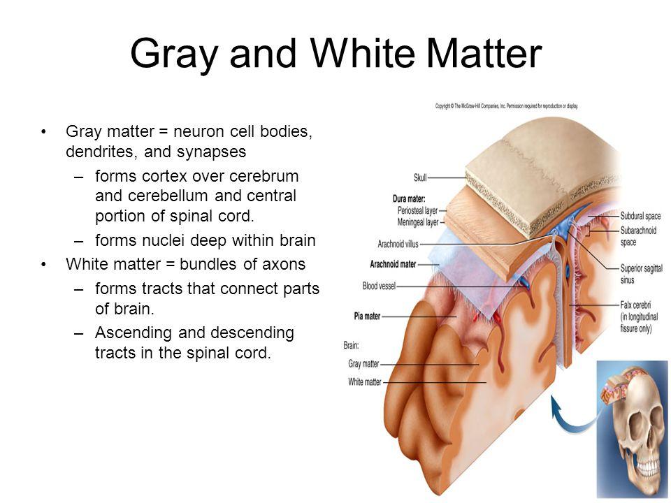 how to build white brain matter
