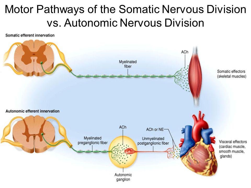 Somatic Motor Division Nervous System Ppt Video Online