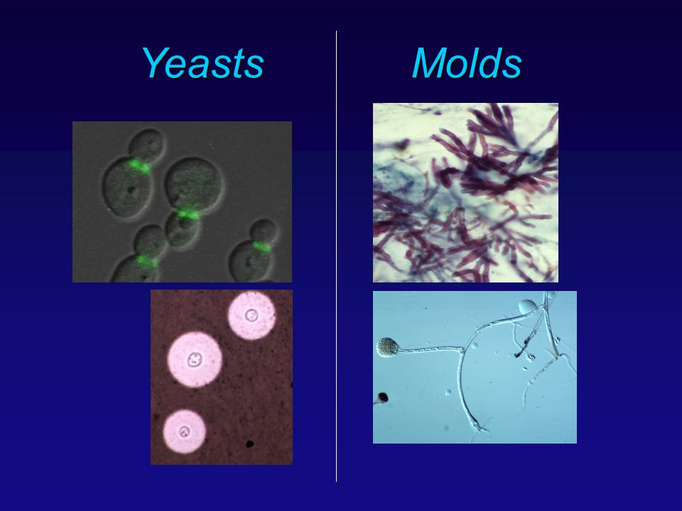 Yeasts Molds