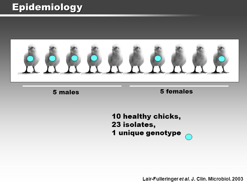 Epidemiology 10 healthy chicks, 23 isolates, 1 unique genotype