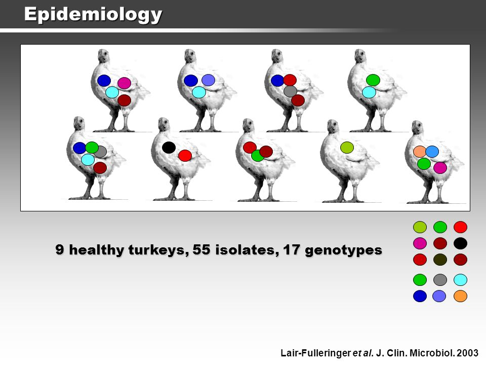 9 healthy turkeys, 55 isolates, 17 genotypes