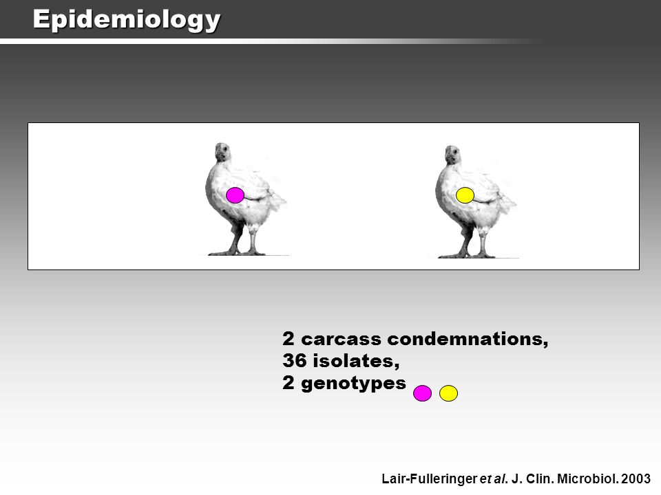 Epidemiology 2 carcass condemnations, 36 isolates, 2 genotypes