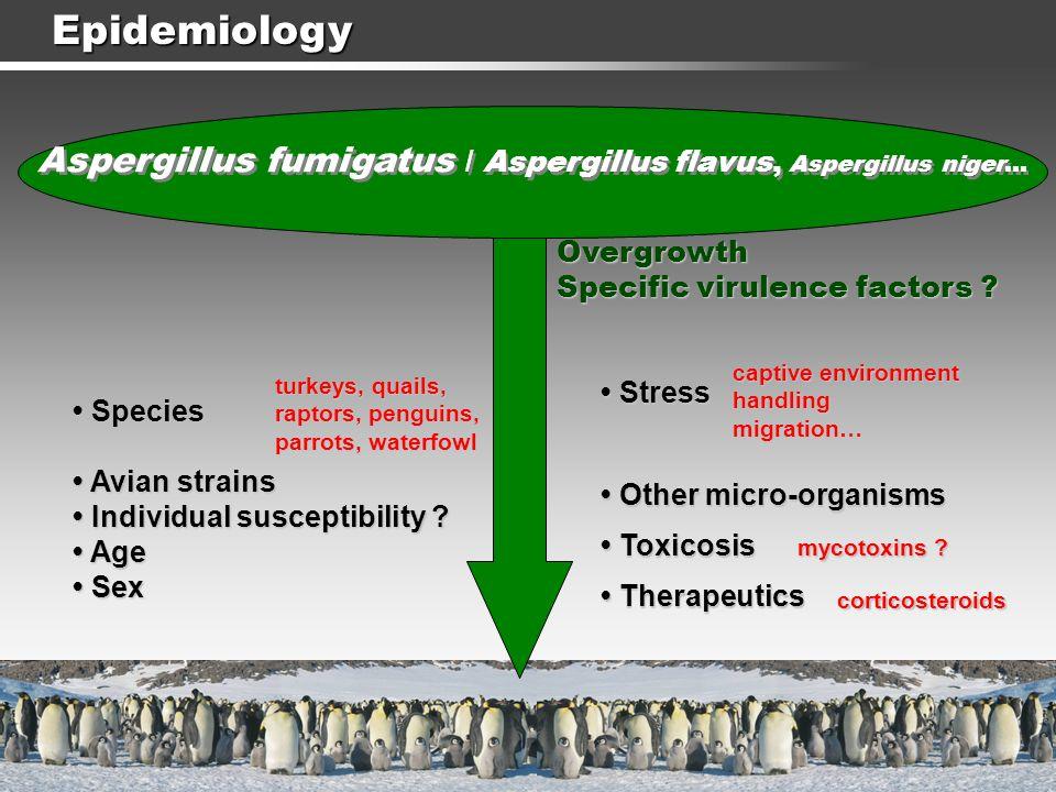 Epidemiology Aspergillus fumigatus / Aspergillus flavus, Aspergillus niger… Overgrowth. Specific virulence factors