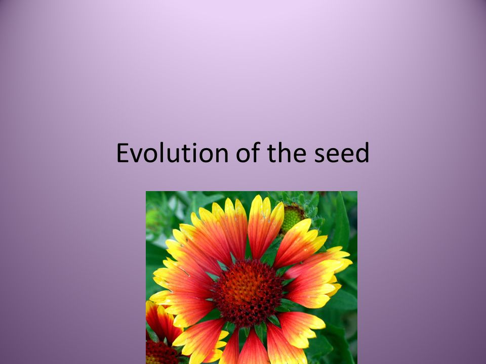 Evolution of the seed