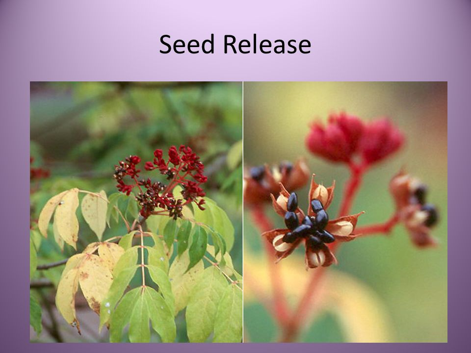Seed Release
