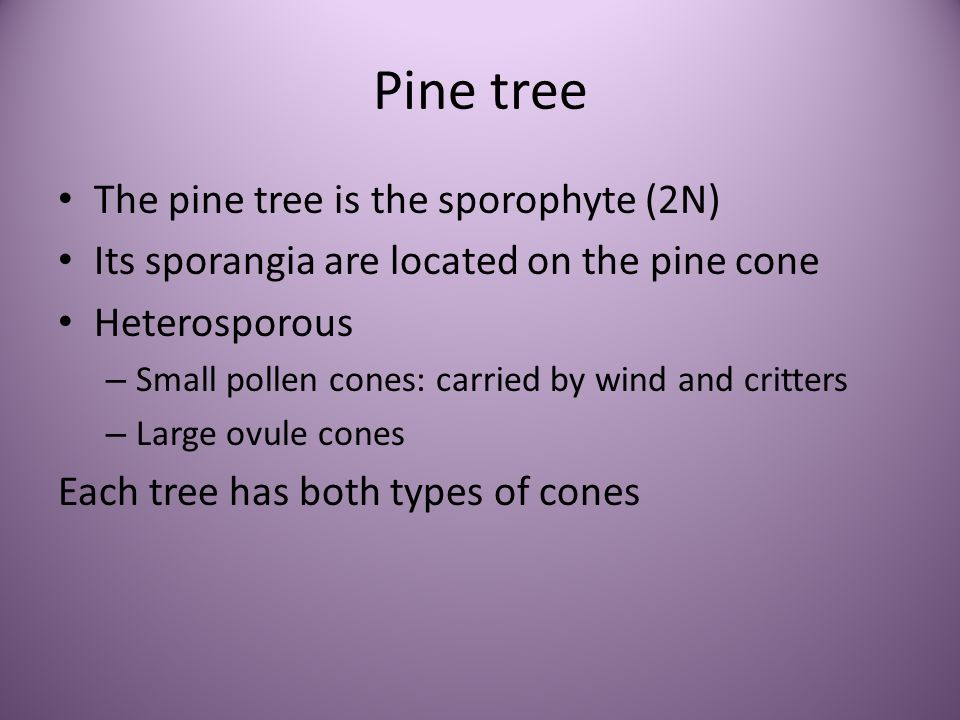 Pine tree The pine tree is the sporophyte (2N)