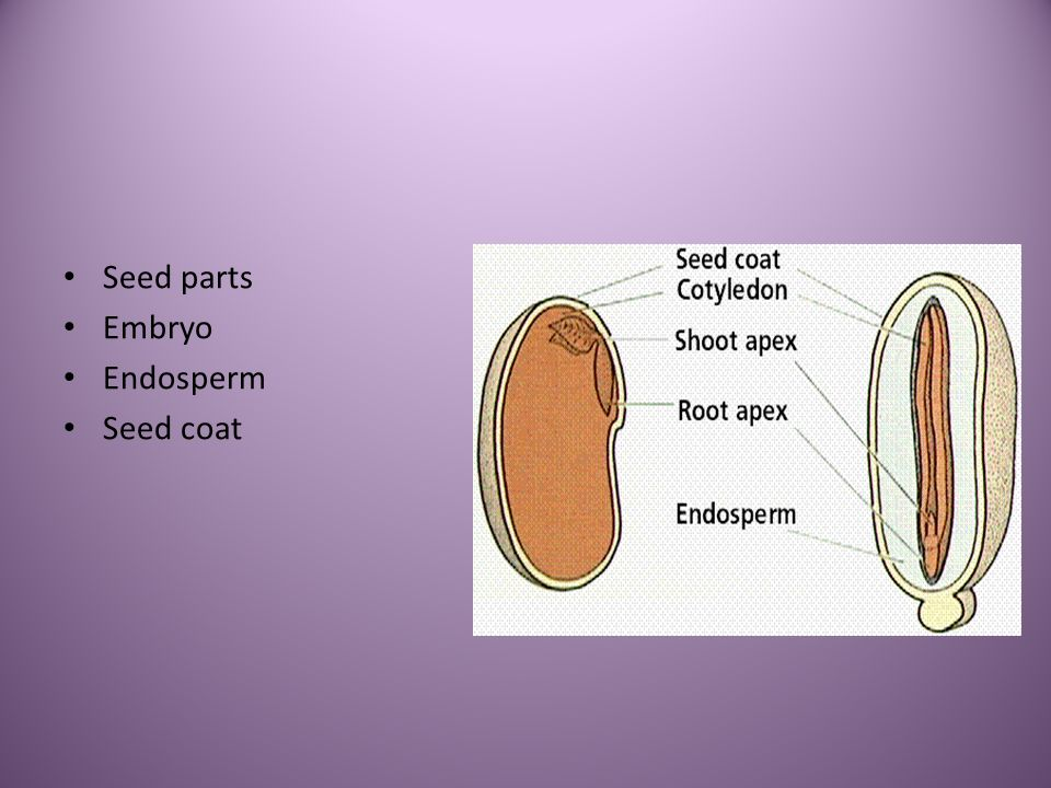 Seed parts Embryo Endosperm Seed coat