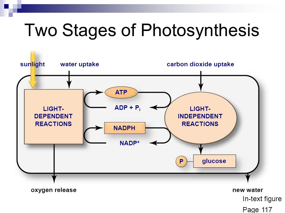 an analysis of the photosynthesis process from both the light dependent and light independent reacti Photosynthesis is the process by which plants manufacture food such as glucose there are two parts to photosynthesis, one which involves sunlight (light dependent reactions) and those that do not involve sunlight (light independent reactions.