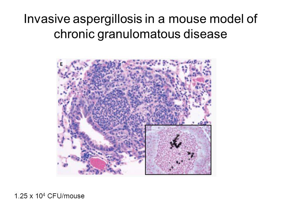 Invasive aspergillosis in a mouse model of chronic granulomatous disease