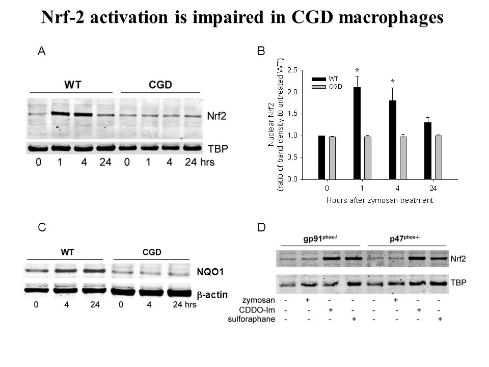 Nrf-2 activation is impaired in CGD macrophages