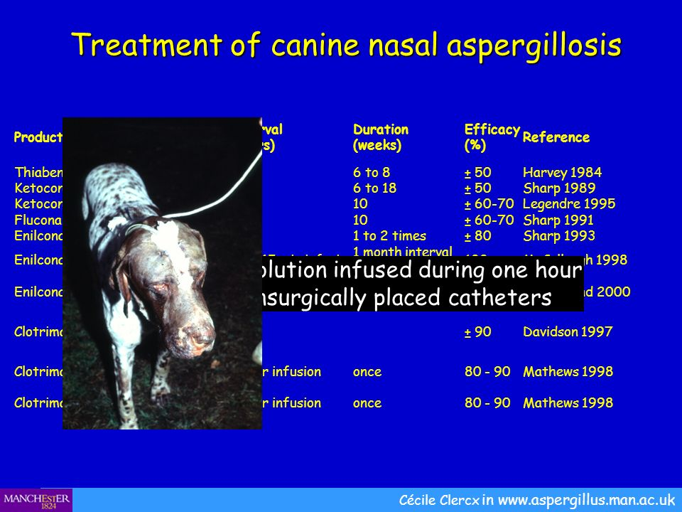 Treatment of canine nasal aspergillosis