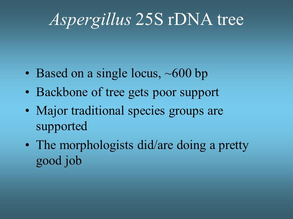 Aspergillus 25S rDNA tree