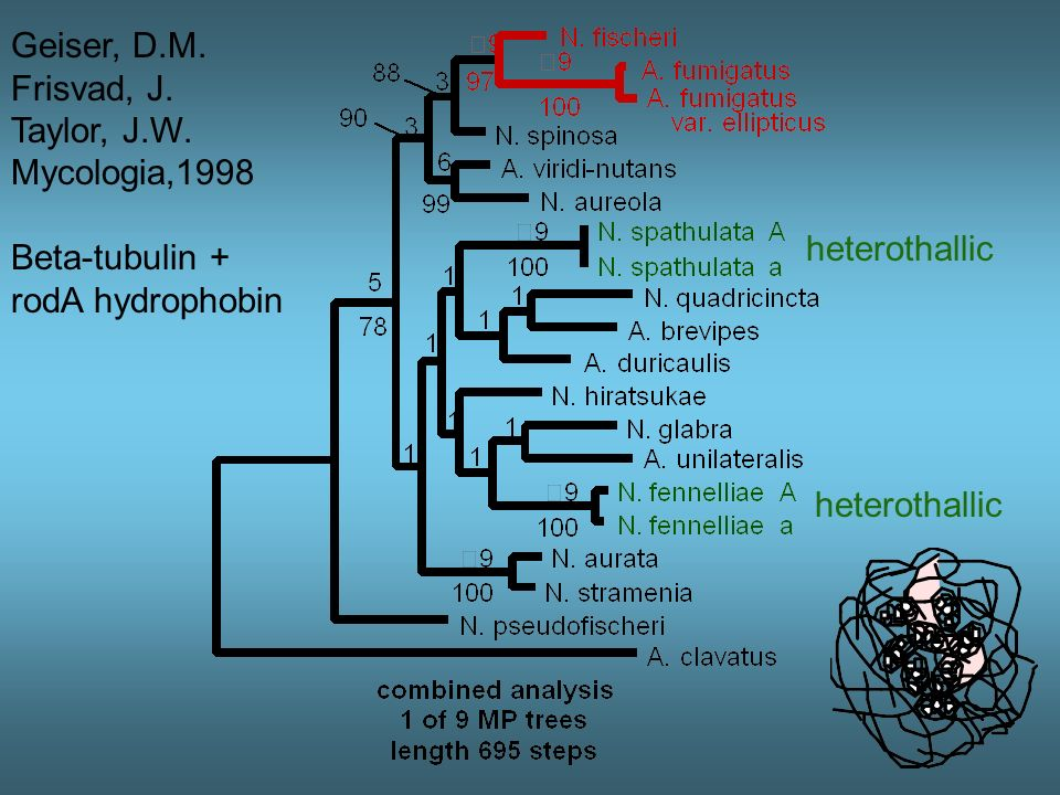 Geiser, D.M. Frisvad, J. Taylor, J.W. Mycologia,1998. Beta-tubulin + rodA hydrophobin. heterothallic.