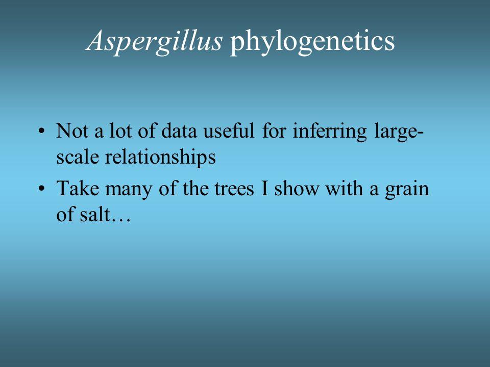 Aspergillus phylogenetics