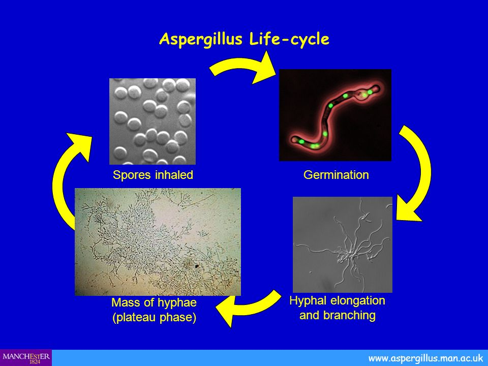 Aspergillus Life-cycle