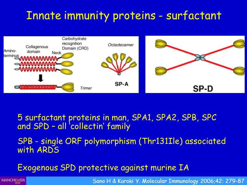 Innate immunity proteins - surfactant