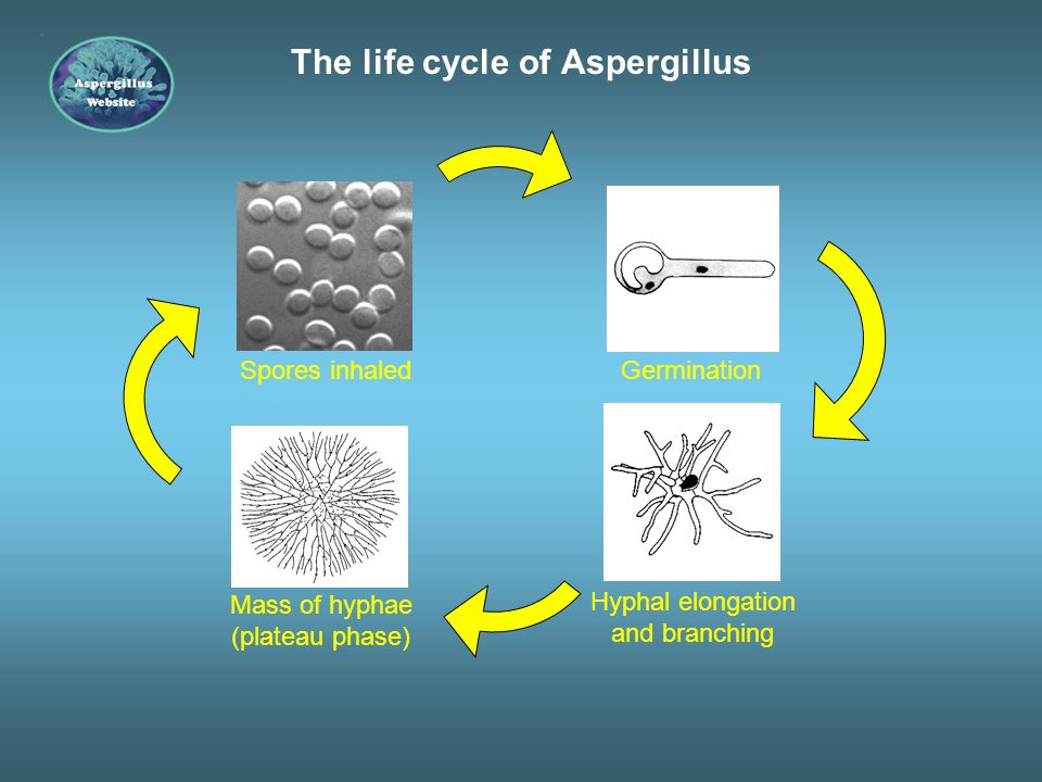 The life cycle of Aspergillus