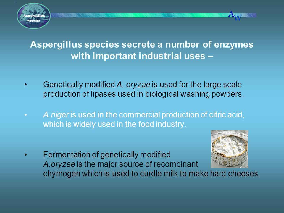 Aspergillus species secrete a number of enzymes with important industrial uses –
