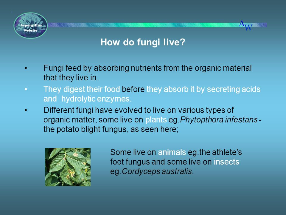 How do fungi live Fungi feed by absorbing nutrients from the organic material that they live in.