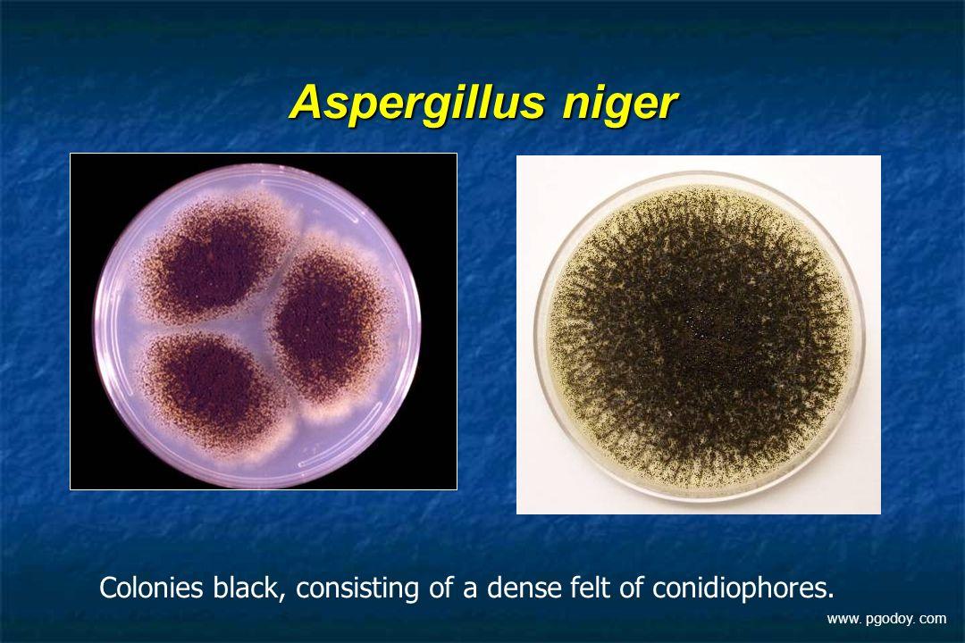 Aspergillus niger Colonies black, consisting of a dense felt of conidiophores. www. pgodoy. com