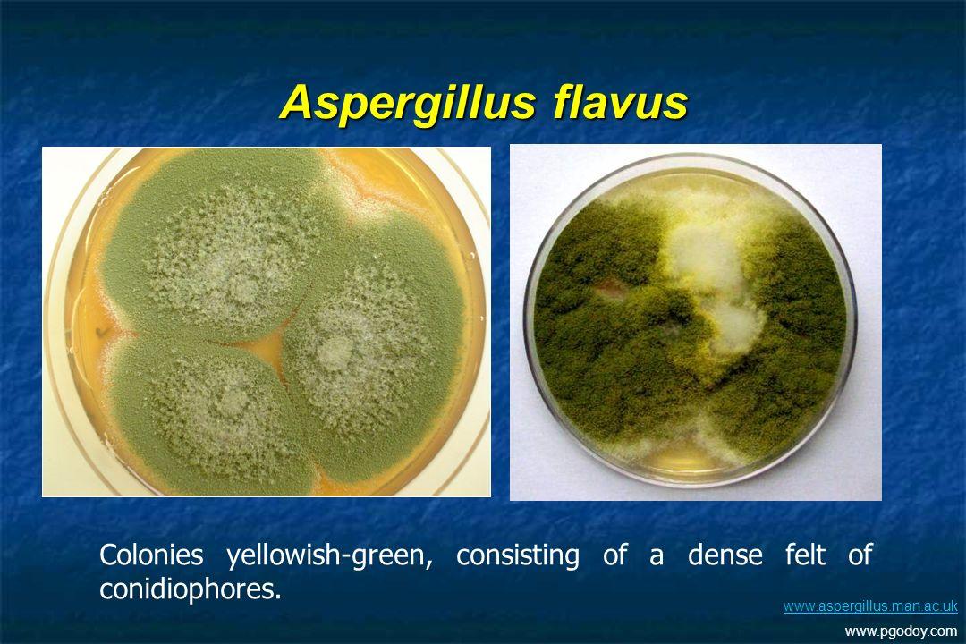 Aspergillus flavus Colonies yellowish-green, consisting of a dense felt of conidiophores. www.aspergillus.man.ac.uk.