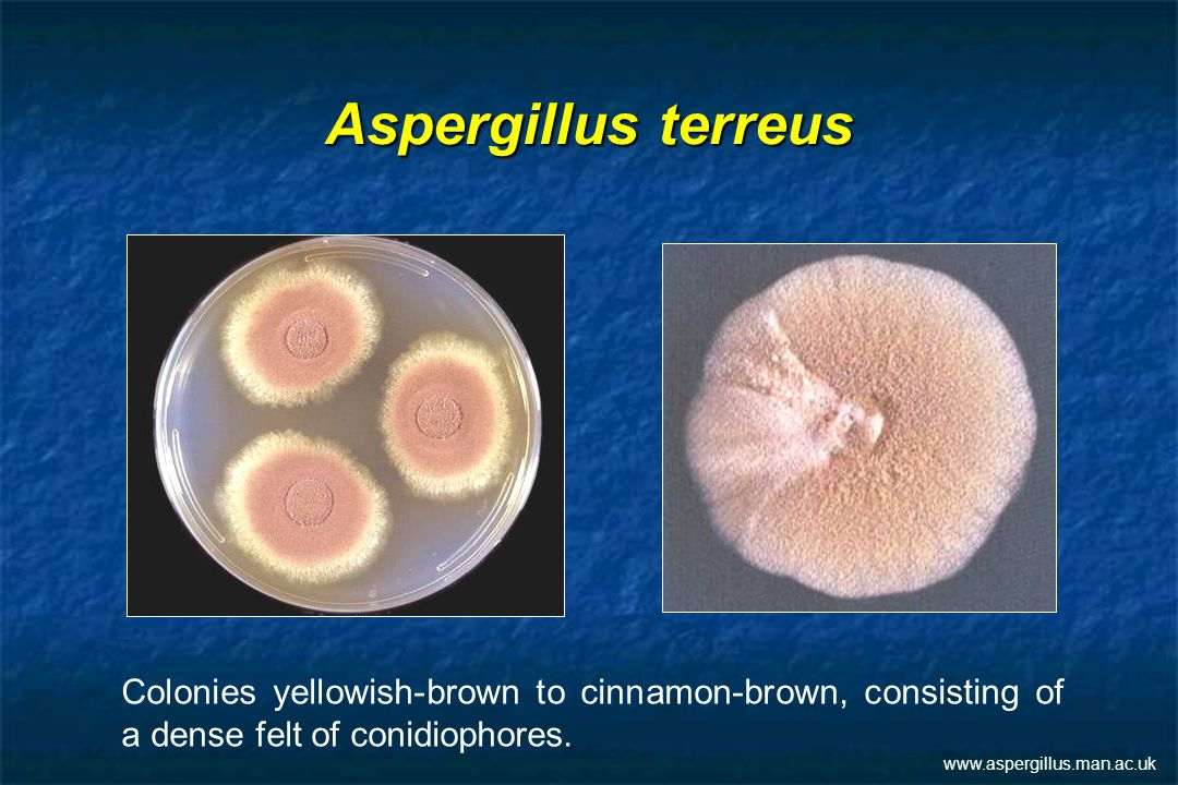 Aspergillus terreus Colonies yellowish-brown to cinnamon-brown, consisting of a dense felt of conidiophores.