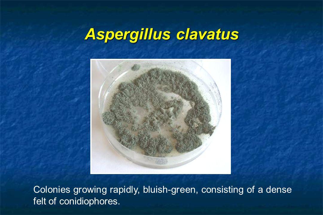 Aspergillus clavatus Colonies growing rapidly, bluish-green, consisting of a dense felt of conidiophores.