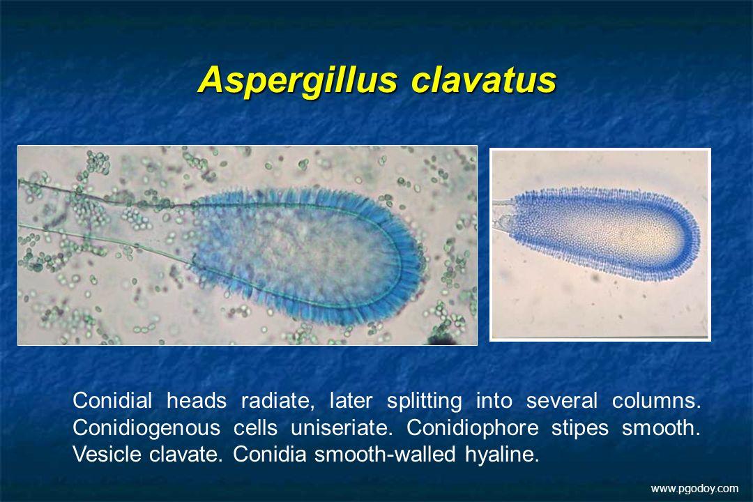 Aspergillus clavatus