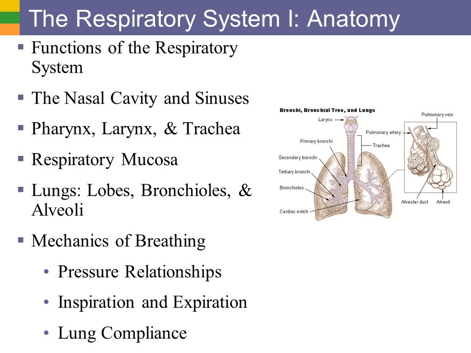 The Respiratory System I: Anatomy - ppt video online download