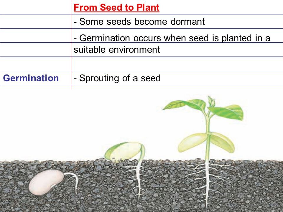 From Seed to Plant - Some seeds become dormant. - Germination occurs when seed is planted in a suitable environment.