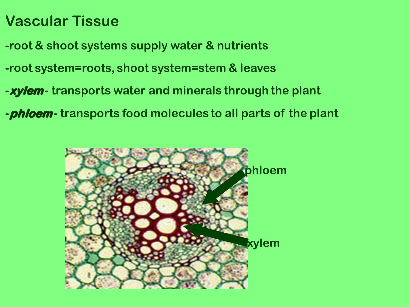 xylem tissue in plants transports minerals and Xylem transport water and minerals from the roots to the rest of the plant   vascular tissue provides stiffness and allows some plants such as sequoias to  grow.