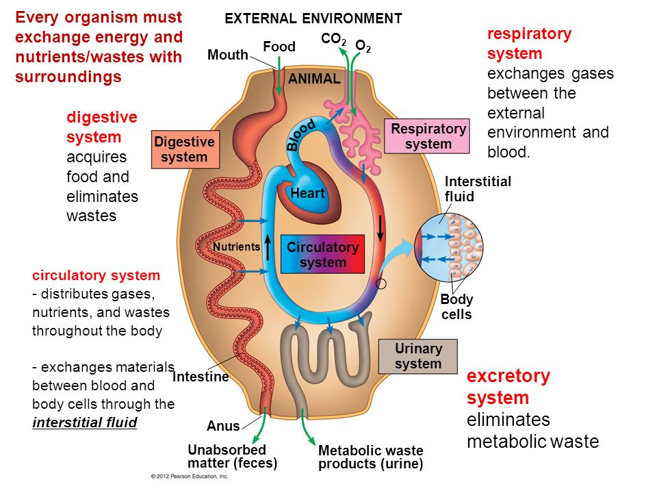horses respiratory system excretory system curcularatory s The horse's respiratory system function of the respiratory system the primary function of the respiratory system is to supply the blood with oxygen in order for the blood to deliver oxygen to all parts of the body.