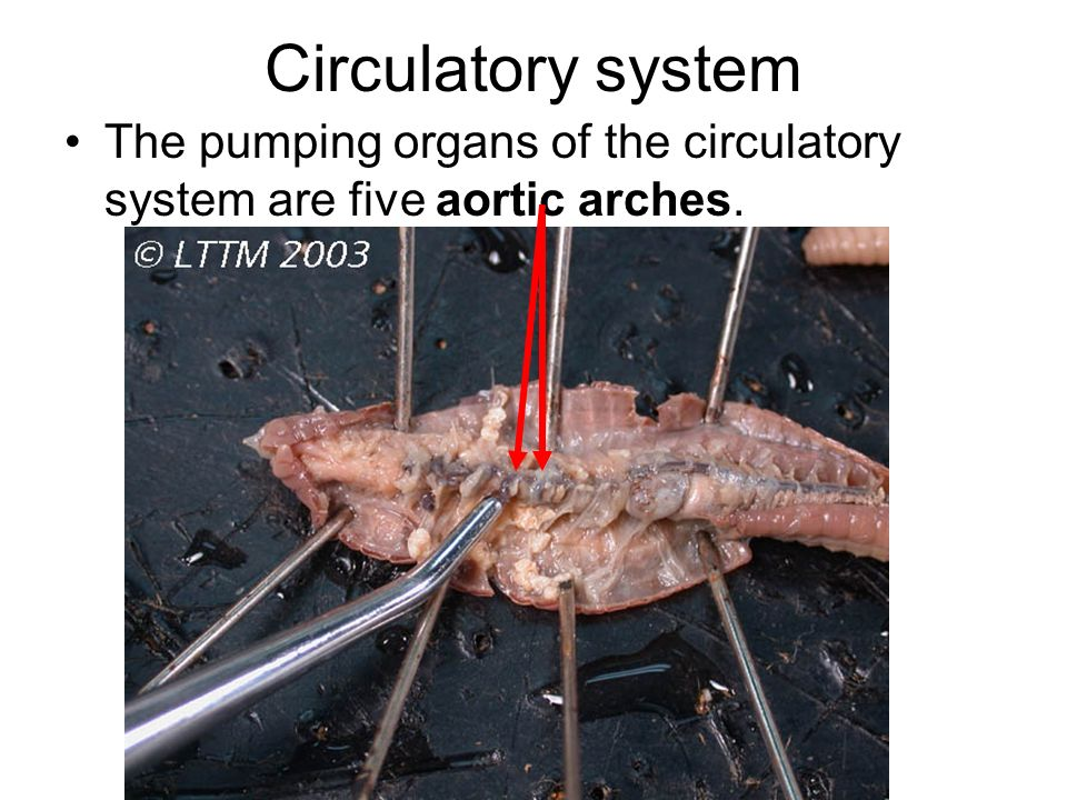Circulatory system The pumping organs of the circulatory system are five aortic arches.