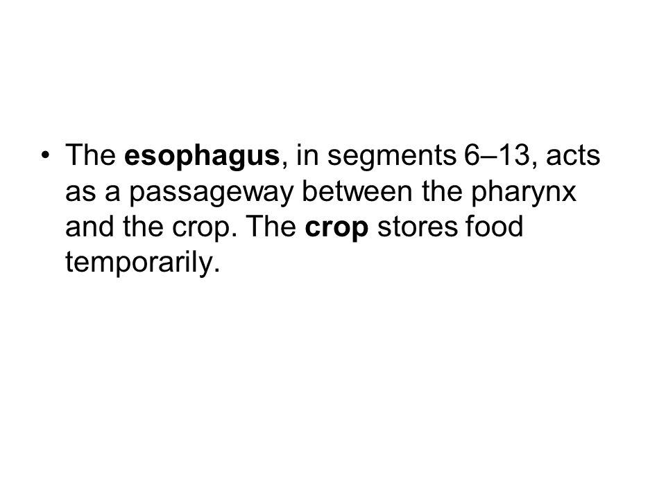 The esophagus, in segments 6–13, acts as a passageway between the pharynx and the crop.