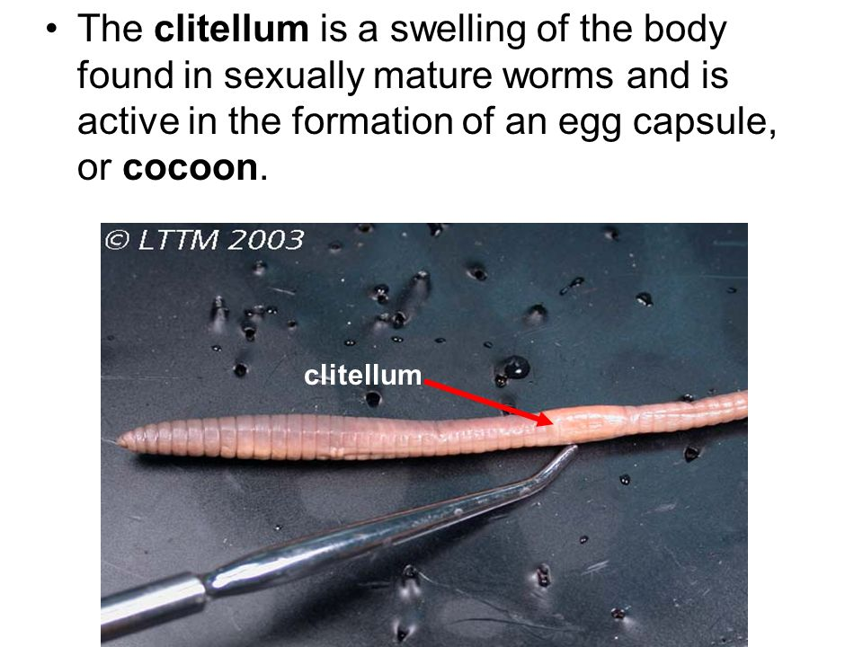 The clitellum is a swelling of the body found in sexually mature worms and is active in the formation of an egg capsule, or cocoon.