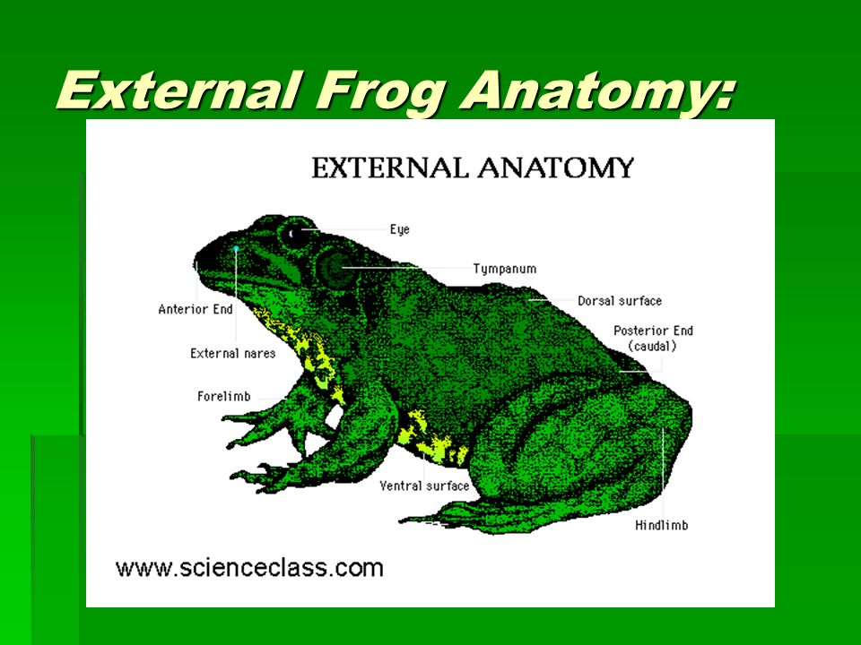 Funky Frog External Anatomy Worksheet Answers Ensign - Human Anatomy ...