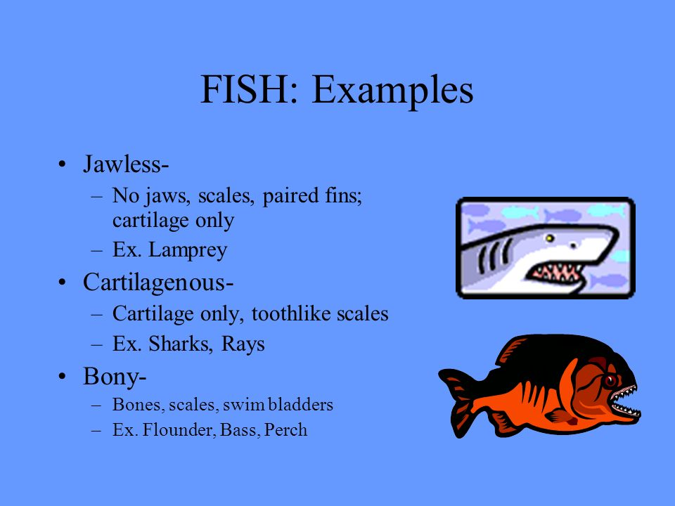 Vertebrates ppt video online download for Cartilaginous fish examples