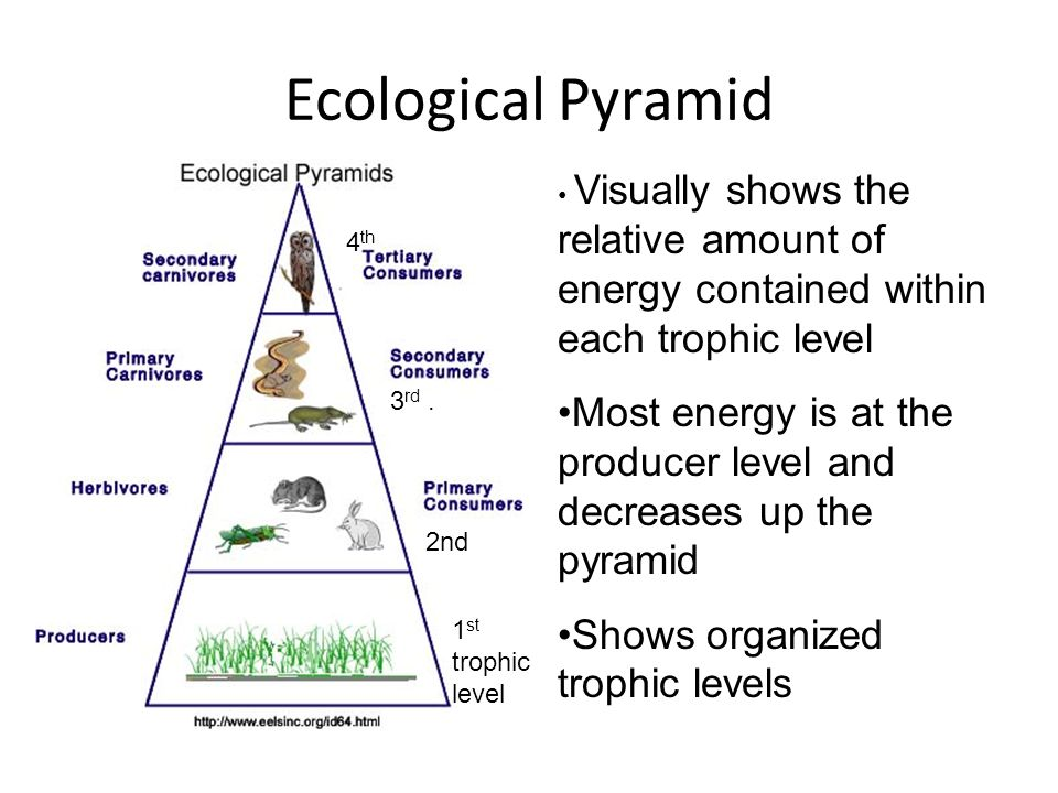 Energy Pyramid Percentages How is energy t...
